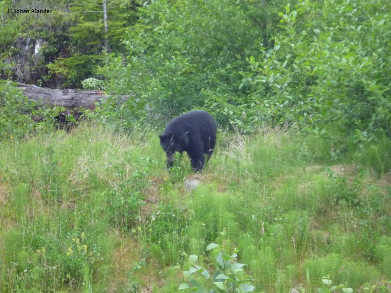 Vancouver Island-First Bear